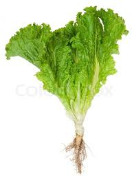 Image of Lettuce Roots